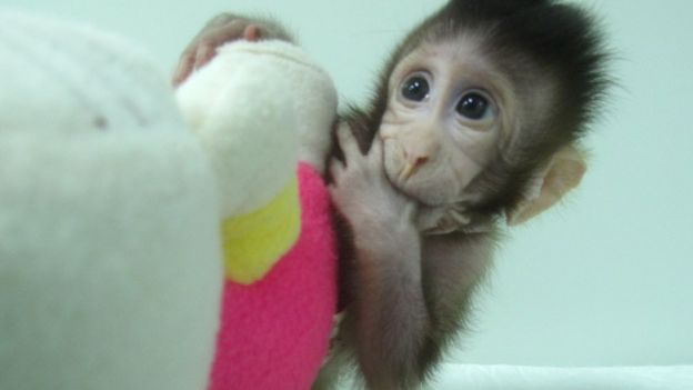 First monkey clones created in chinese laboratory bbc news zhong zhong one of the first two monkeys created by somatic cell nuclear transfer voltagebd Image collections