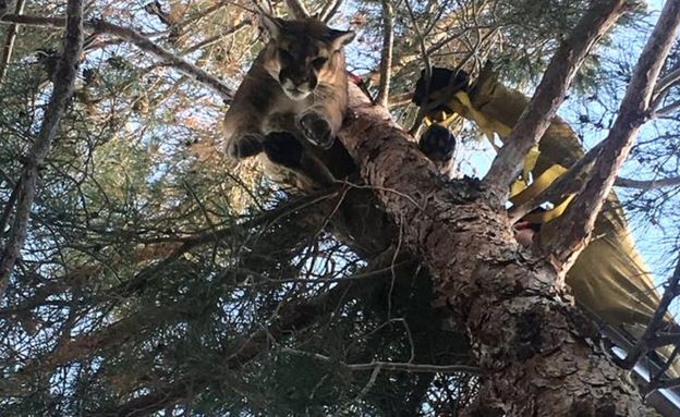 The mountain lion was rescued by firefighters using a ladder