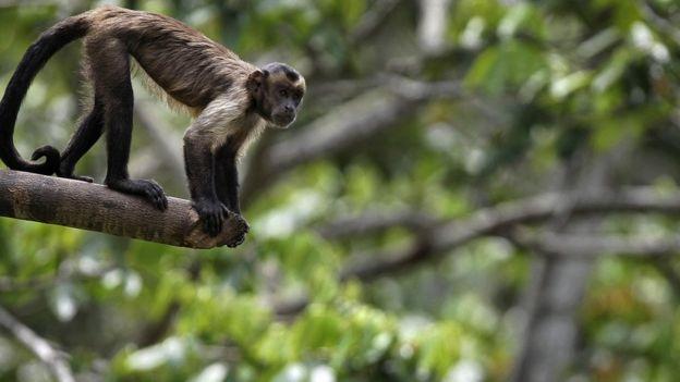 Macaco na Amazônia