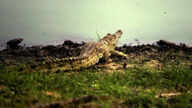 Crocodile at the Rufiji River