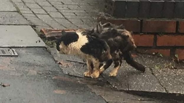 'Critical' stray cat attracts global support _110012952_maximus3