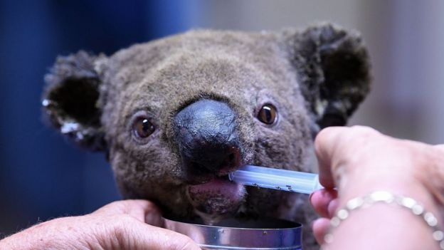 A dehydrated and injured koala is treated at the Port Macquarie Koala Hospital on 2, November following a massive blaze which ravaged a koala sanctuary.
