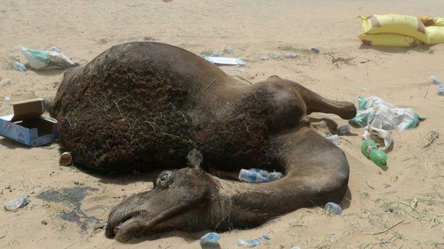 Suudi Arabistan Katar sınırında deve leşi