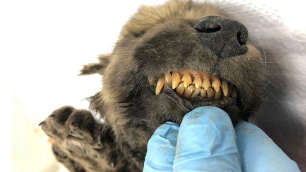Догор отлично сохранился - вплоть до молочных зубов