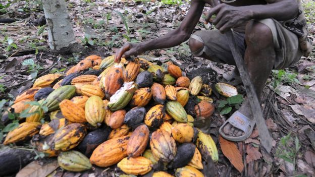 A worker gathers the cocoa pods.