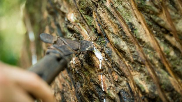 Mão segura ferramenta que tira seiva de árvore