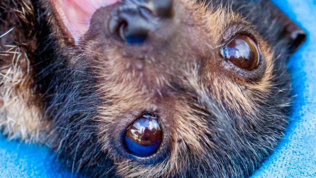 Um morcego jovem resgatado por voluntários durante a onda de calor