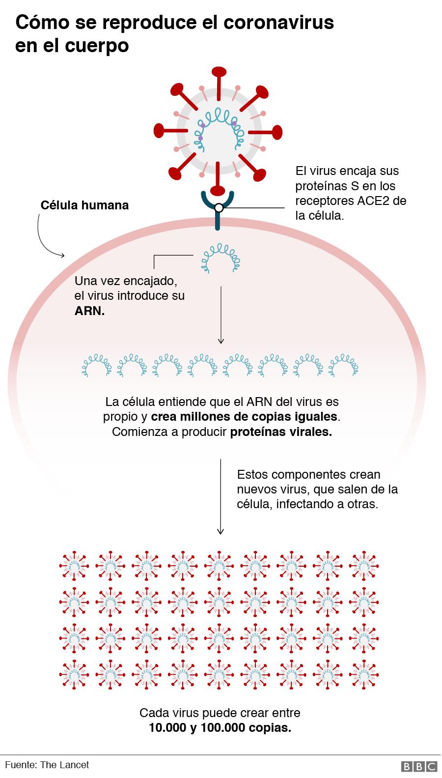 Gráfico mostrando cómo se reproduce el coronavirus en el cuerpo