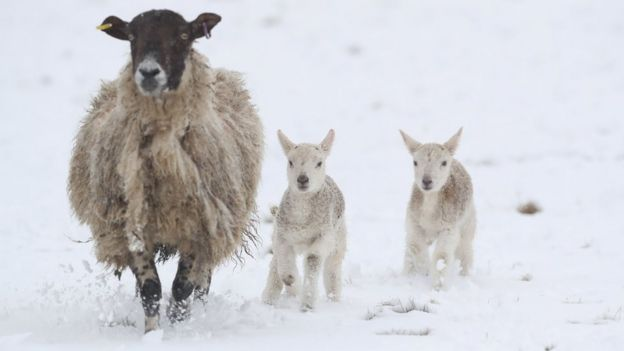 Lambs at Allendale in Northumberland, in snowy conditions