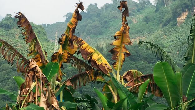 Plantasde banana infectadas