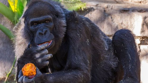 Vila the gorilla eating what looks like sweet potato