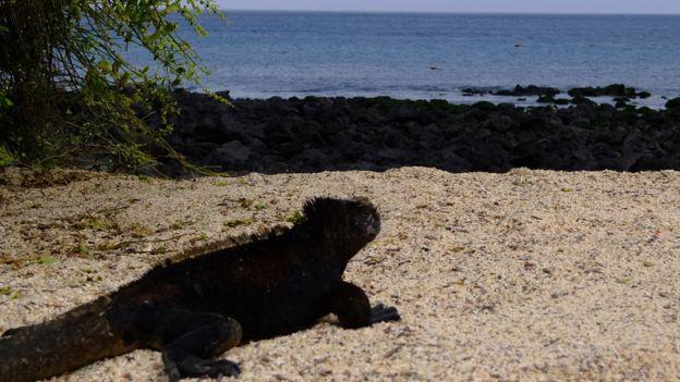Iguana en una playa de Galápagos