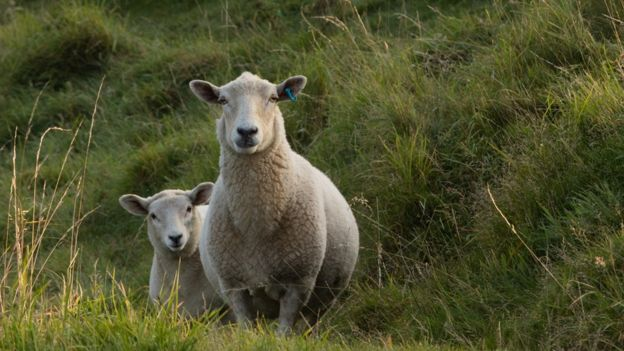 Fleecing the farmers: The true cost of stealing sheep - BBC News