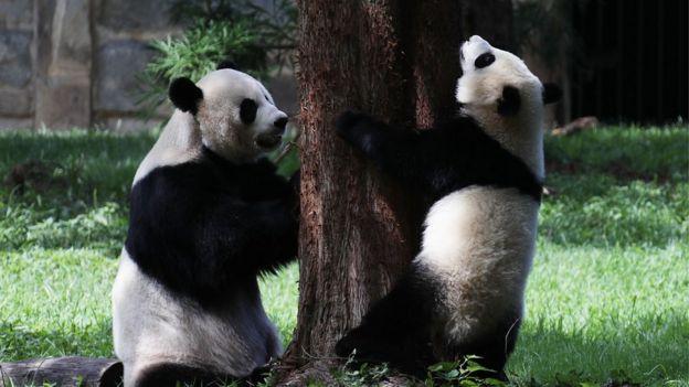 國家動物園的大熊貓