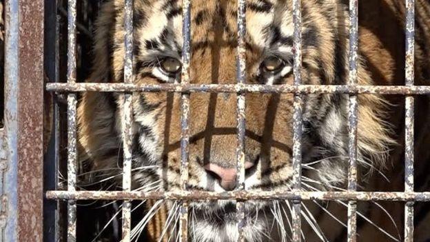 Тигры на границе Польши и Беларуси