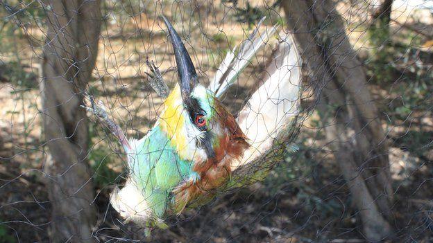 Bee eater in net