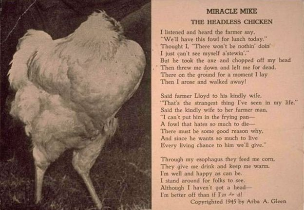The Chicken That Lived For 18 Months Without A Head Bbc News
