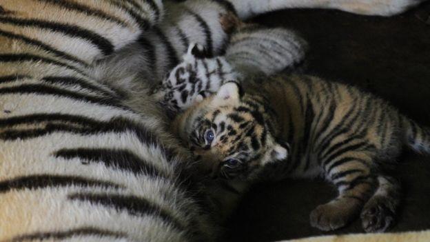 ลูกเสือเกิดใหม่ในเนปาล