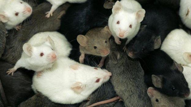 В 1980-х годах из двух разных видов мышей вывели гибридных химер
