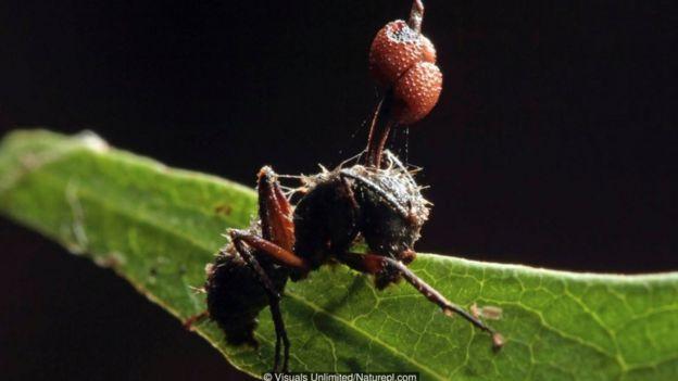 Chú kiến này đã không thoát khỏi số phận 'zombie', bởi nó bị một loài nấm ký sinh tấn công