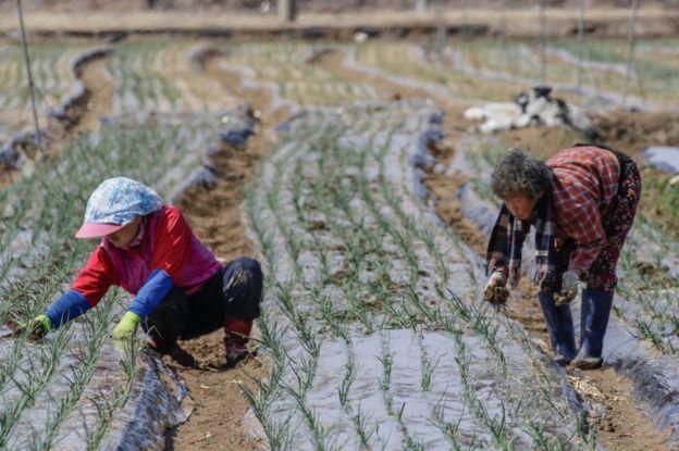 Dos mujeres recogen arroz en Corea del Sur.