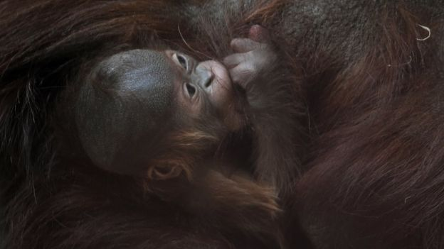 close up of baby orangutan holding on tight to mother's fur