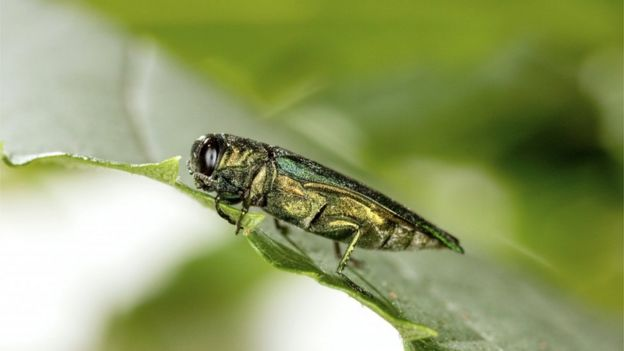 Emerald ash borer (Image: Science Photo Library)