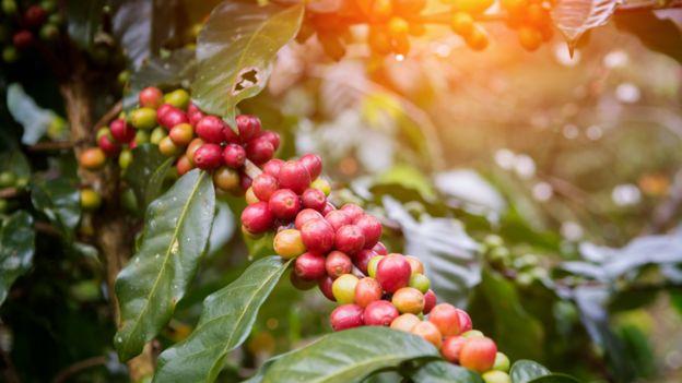 Frutos de café verdes y rojos en la planta