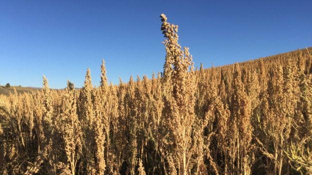 """El """"superalimento"""" que está cambiando la vida de los agricultores en Perú"""