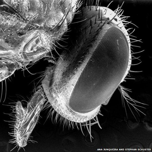 Cabeza de un moscardón bajo un microscopio de electrones