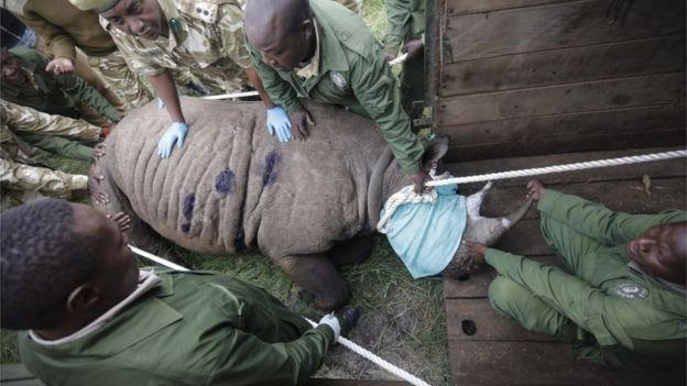 A tranquilized black rhino being moved into a crate by members of the Kenya Wildlife Service