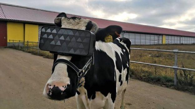 Vaca com visor de realidade virtual
