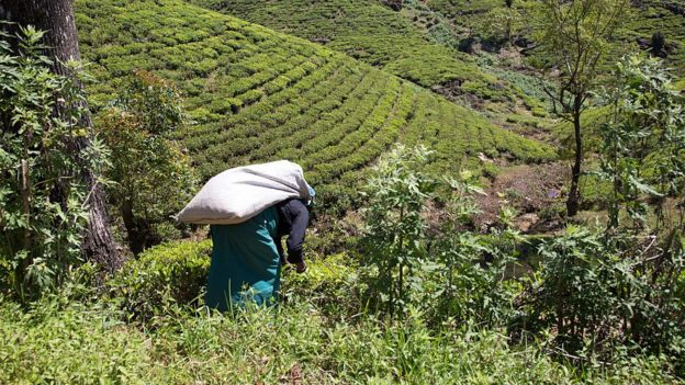 Female worker picking tea leaves on hillside, Nuwara Eliya, Sri Lanka