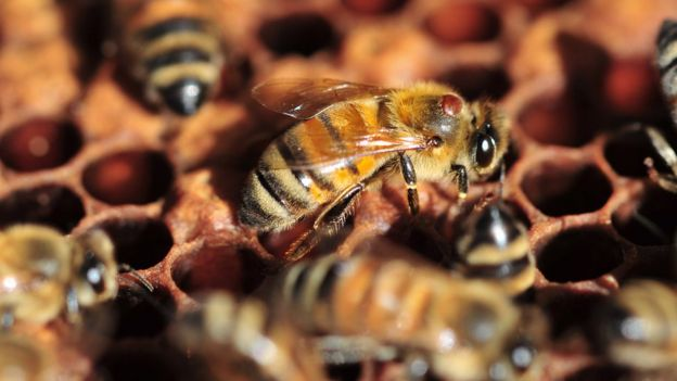 Spread of bee disease 'largely manmade' - BBC News