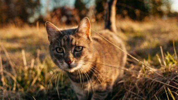 در استرالیا و نیوزیلند گربهها را مسئول انقراض برخی از گونههای جانوری میدانند