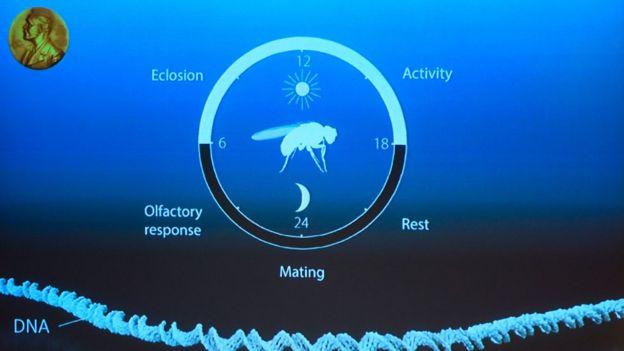 Ciclo circadiano de la mosca.