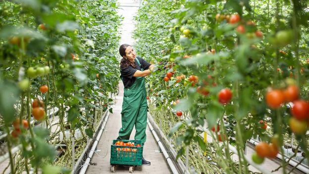 Cultivación en invernadero