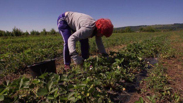 Romanian strawberry picker