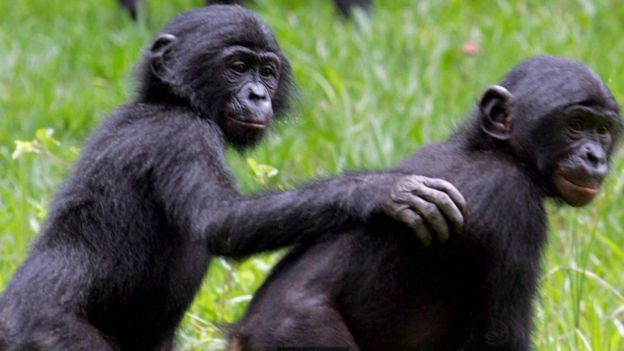 Macacos bonobos