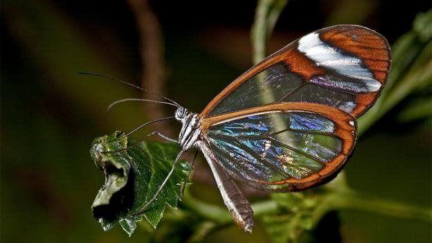 پروانه شیشهای در آمریکای مرکزی یافت میشود