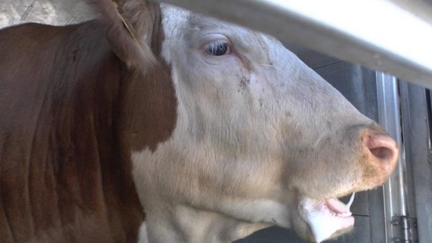 Susuzluktan tükenmiş bir sığır