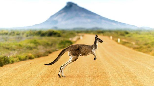 Canguro en Australia.