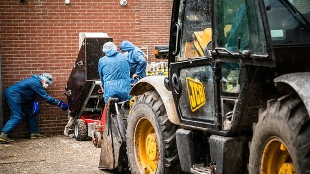 Employees clear culled mink at a farm infected with the novel coronavirus in the Netherlands