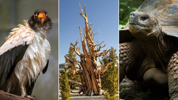 King vulture, bristlecone pine tree, giant tortoise