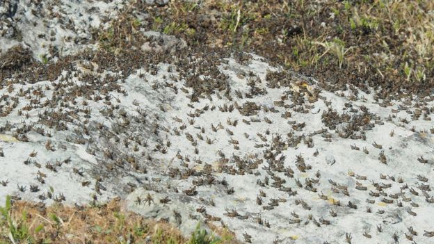 Locusts on Agios Efstratios (pic courtesy of Stella Spanou)