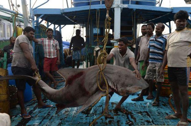 ชาวประมงอินเดียกำลังจะขายฉลามที่เขาจับได้เมื่อออกทะเลที่ท่าเมืองเชนไน เมื่อเดือนมค. 2018
