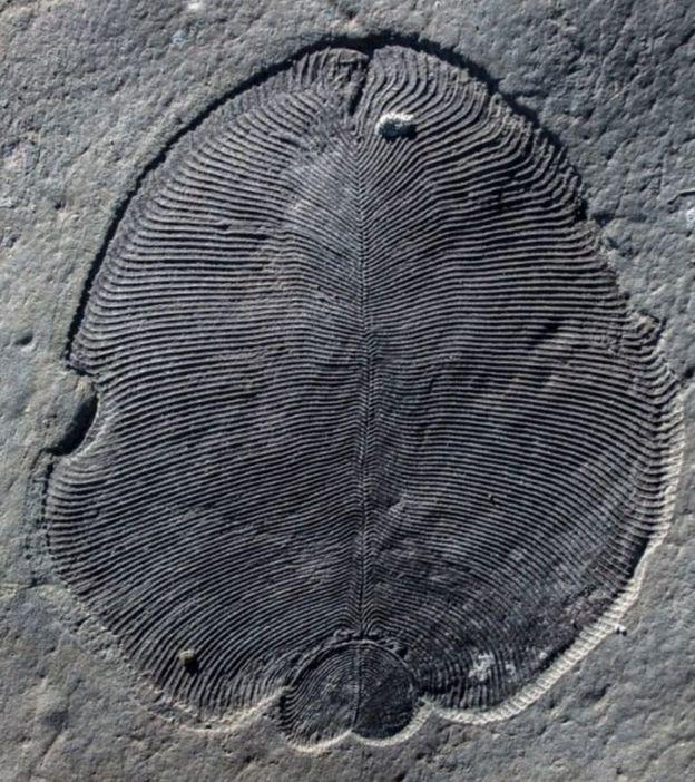 ฟอสซิลอายุ 558 ล้านปี