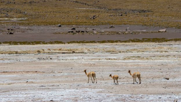 Animais no deserto do Atacama, o mais seco do mundo