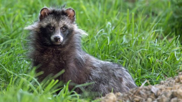 Dangerous' raccoon dogs' owner 'wants them back safe' - BBC News