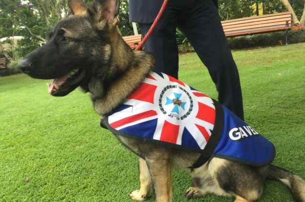 Photo of a grown Gavel the German Shepherd, sitting at attention on a leash in his new uniform